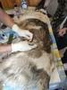 Очередная стерилизация животных